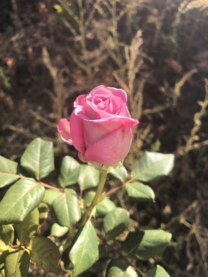 Pink Rose in sunshine. stock image