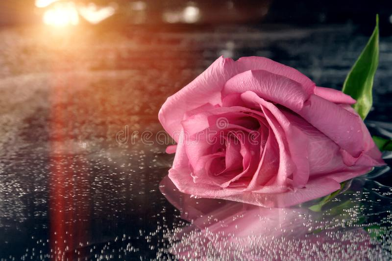 Pink rose on the surface of dark water royalty free stock photography