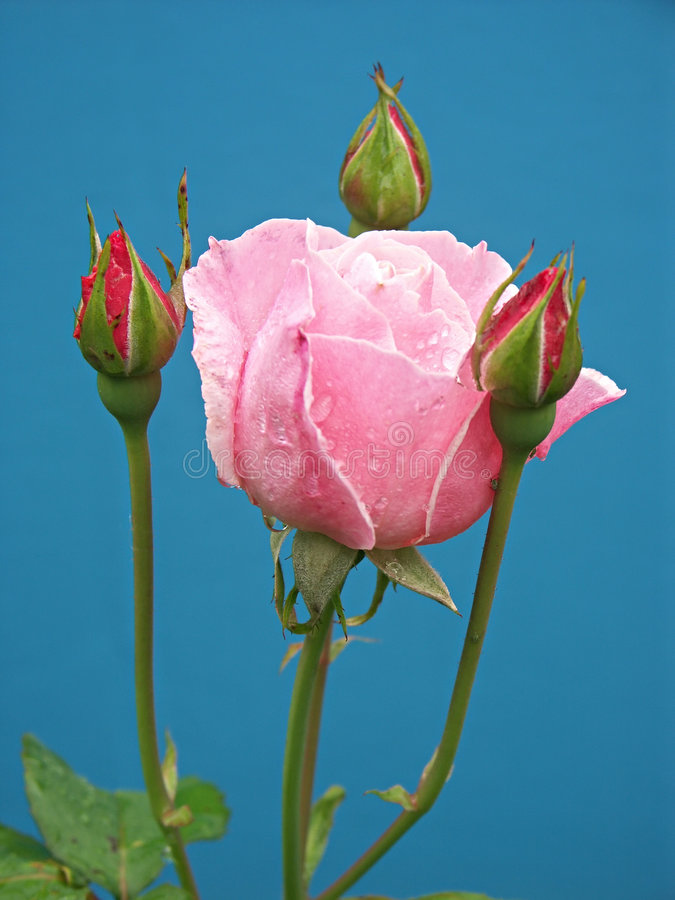 Pink rose with three buds stock photos