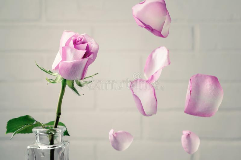 Pink rose in a vase with falling petals against the background of a white wall. Tenderness, fragility, loneliness, romance concept royalty free stock photo