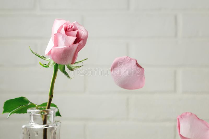Pink rose in a vase with falling petals against the background of a white wall. Tenderness, fragility, loneliness, romance concept stock photography