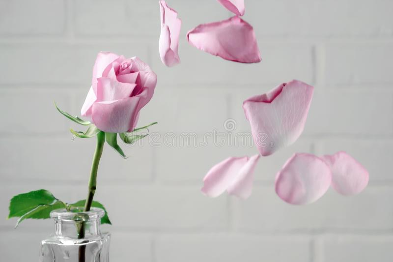 Pink rose in a vase with falling petals against the background of a white wall. Tenderness, fragility, loneliness, romance concept royalty free stock photos