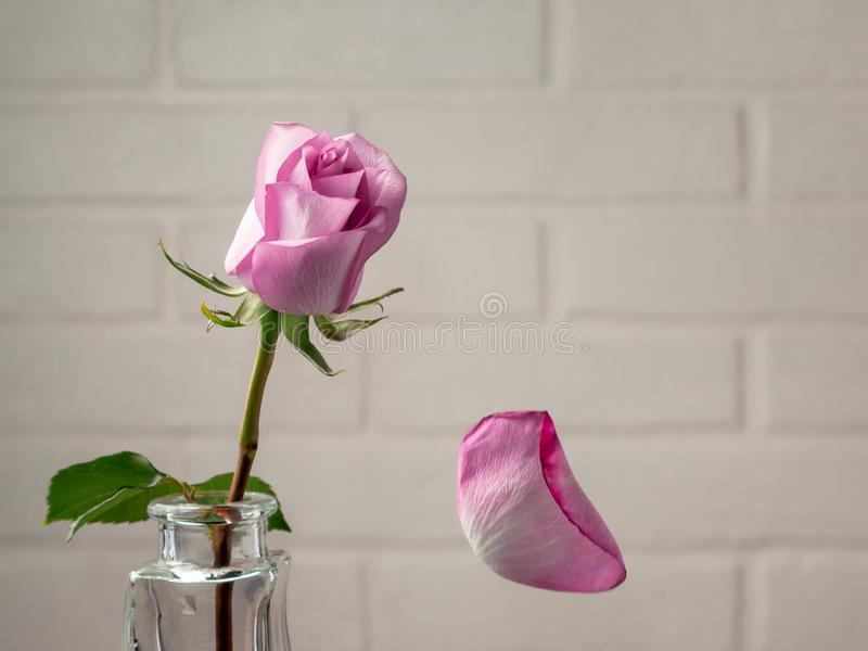 Pink rose in a vase with falling petals against the background of a white wall. Tenderness, fragility, loneliness, romance concept stock images