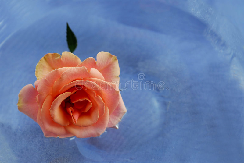 Pink rose in water stock photos