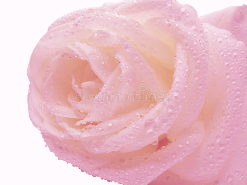Download Pink rose in water drops stock image. Image of background - 13401831