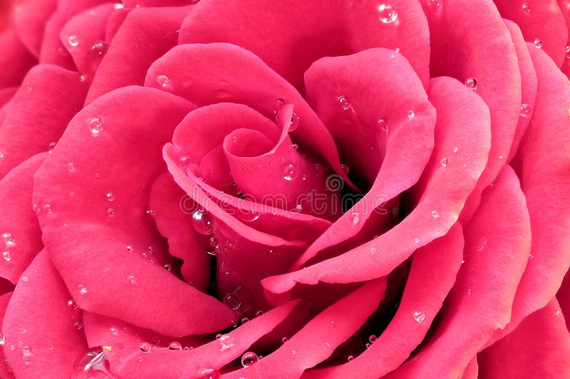 Pink rose with water drops stock photography