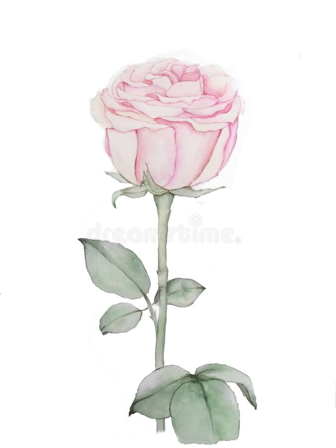 Pink rose watercolor drawing. Isolated rose hand drawing. Flower rose illustration royalty free stock photos