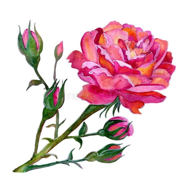 Pink rose stock illustration