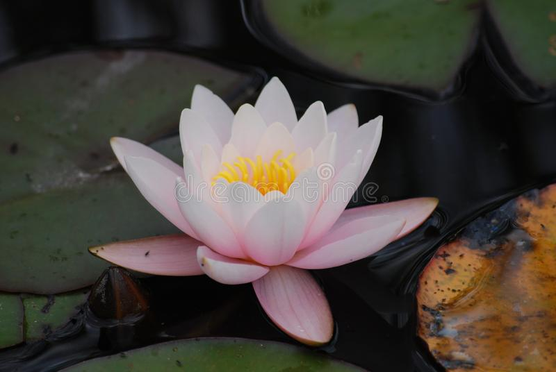 Pale Pink Water Lily Blossom in Aquatic Botanical Garden royalty free stock image