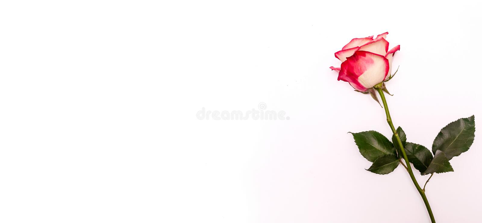 Pink Rose on a White Background. Concept International Woman Day 8 March, Valentine`s Day, Greeting Card stock image