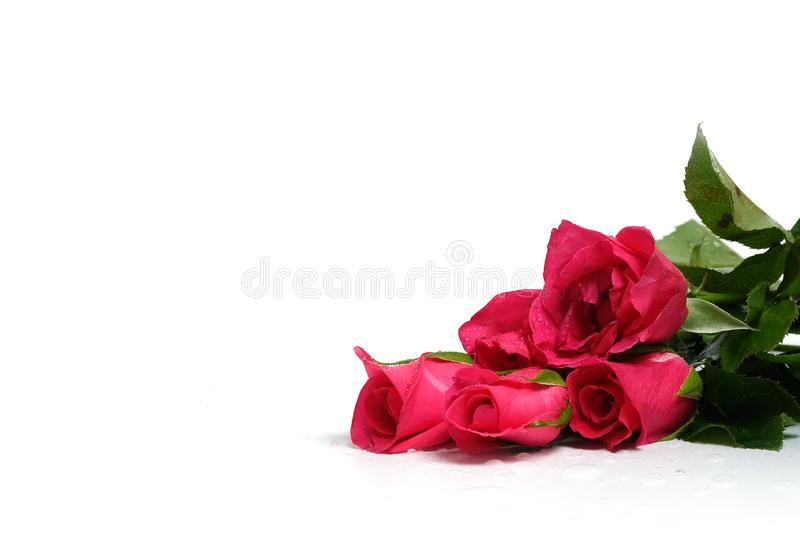 Pink rose with white background have some space for make romantic greeting card royalty free stock images