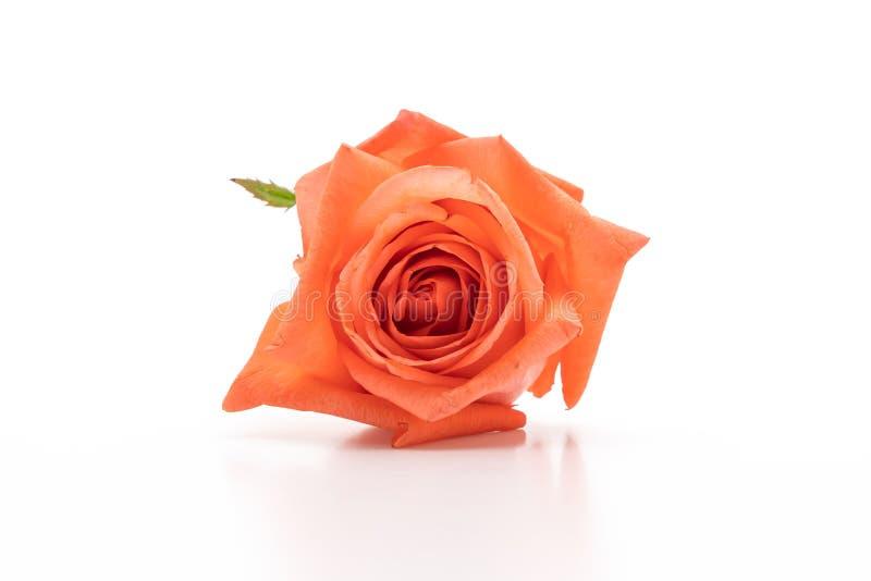 pink rose on white background stock image