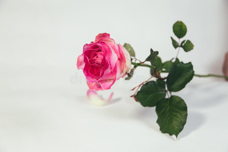 Pink rose on white background. Single pink rose isolated on white background royalty free stock photos