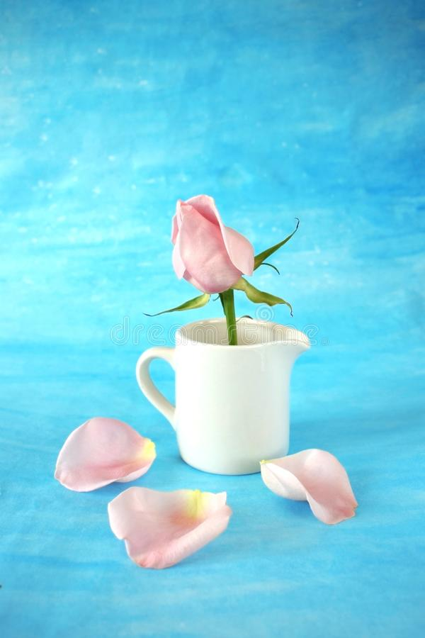 Pink rose in a white ceramic jug. Petals are scattered around it on blue background stock images