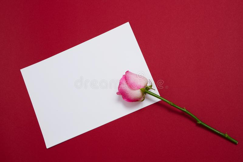 Pink rose and white template postcard with copy space on red background. Valentine and mother day. Top view and copy space. Flower stock photo