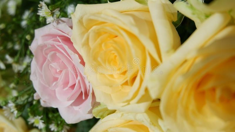 Pink rose between yellow roses  stock photo