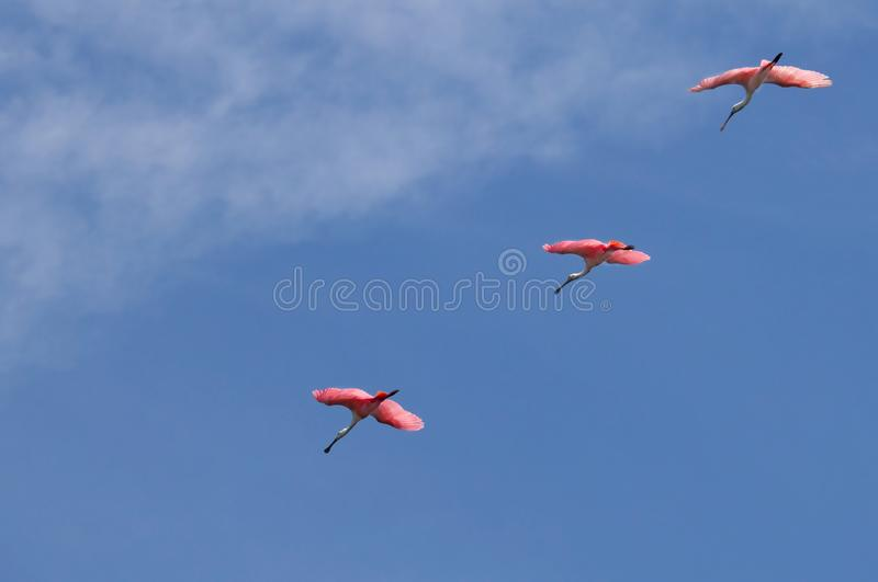Pink roseate spoonbills fly in a formation line. Three magenta pink roseate spoonbills fly in a formation line against a cyan blue sky across Estero Bay stock photos