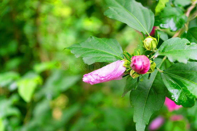 Pink rosehip buds on a background of green foliage. Spring bloom stock images