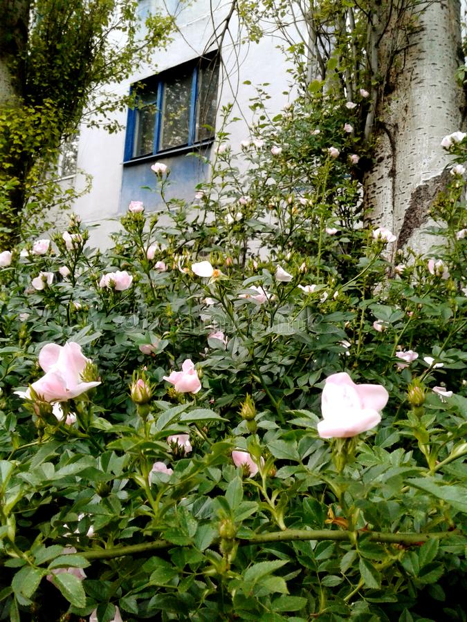 Pink rosehip flowers under the window. House with blue walls. stock photography