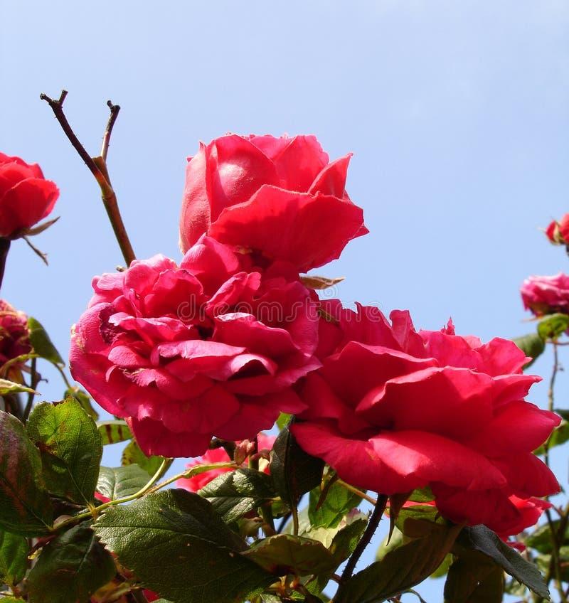 Download Pink Roses stock image. Image of thorns, petals, pink, flower - 143497
