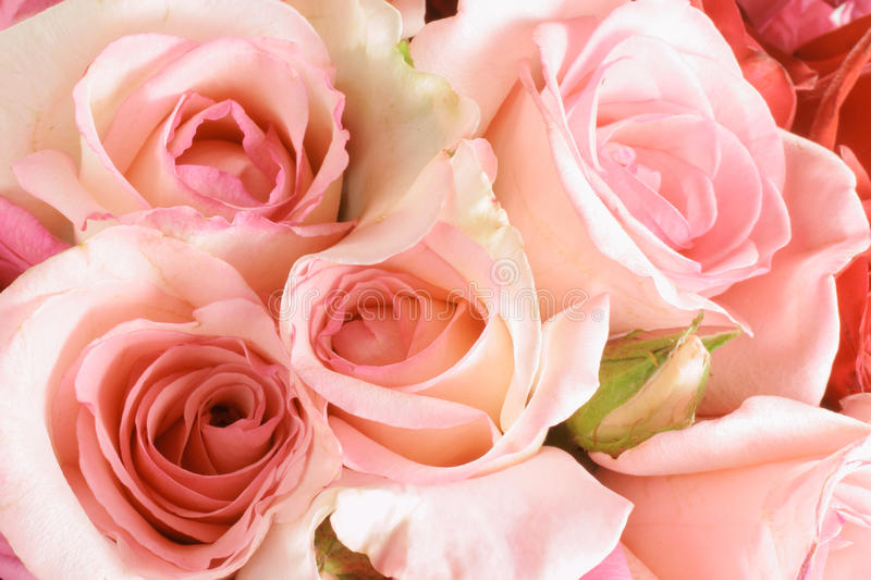 Pink Roses. Close Up of Pink Roses stock images