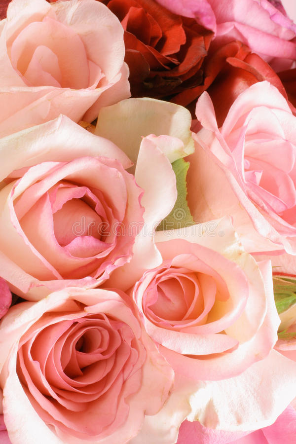 Pink Roses. Close Up of Pink Roses royalty free stock photo