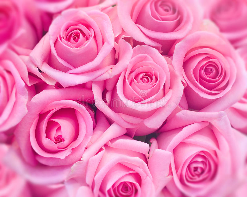 Pink roses. Background / backdrop of pink / rosy roses / flower with blurred edges stock photography