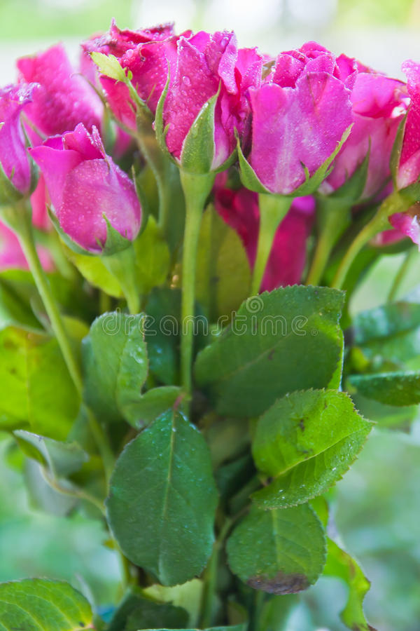 Download Pink Roses Stock Photo - Image: 26616720