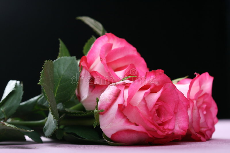 Download Pink roses stock photo. Image of closeup, green, flora - 4273106