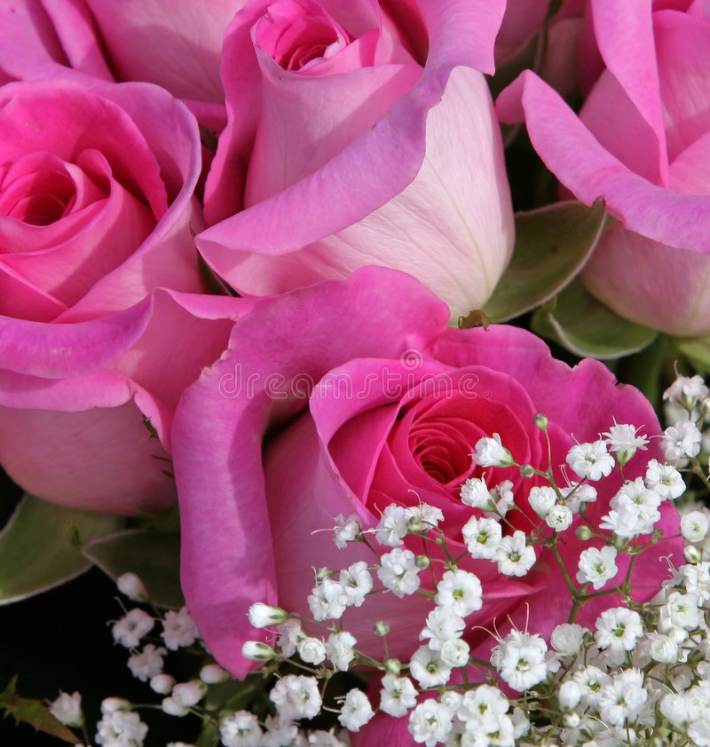 Pink roses. With baby's breath royalty free stock photo