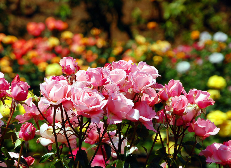 Download Pink roses stock image. Image of thorns, blossoms, gardening - 5630675