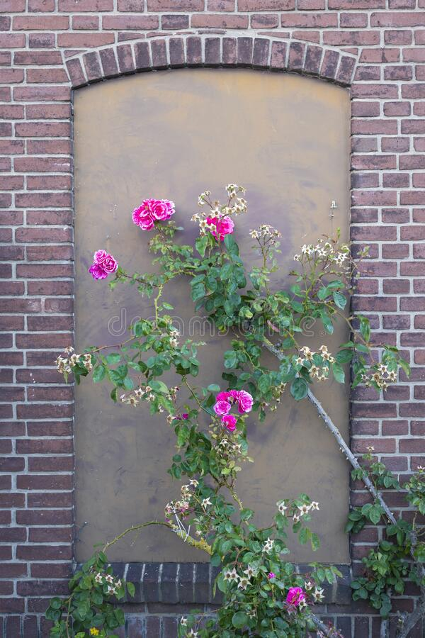 Pink roses against old brick wall within yellow frame royalty free stock photos