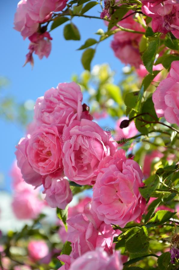 Pink roses. Against a summer-blue sky. Colorful, almost as an romantic vintage pattern royalty free stock images