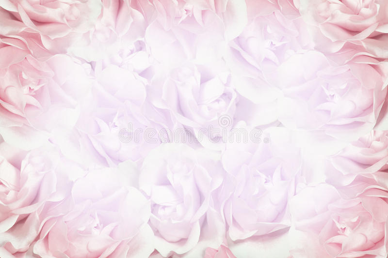 Pink roses background royalty free stock photo