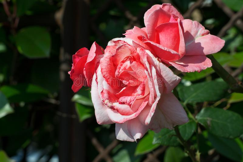 Pink roses on a background of green leaves. The rose flowers in the garden. royalty free stock photo