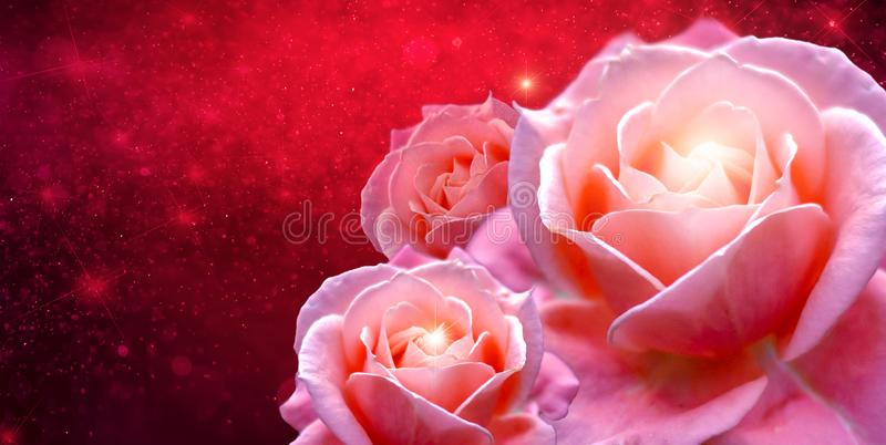 Pink roses Banner Red rose bokeh red background Have space to enter text stock image
