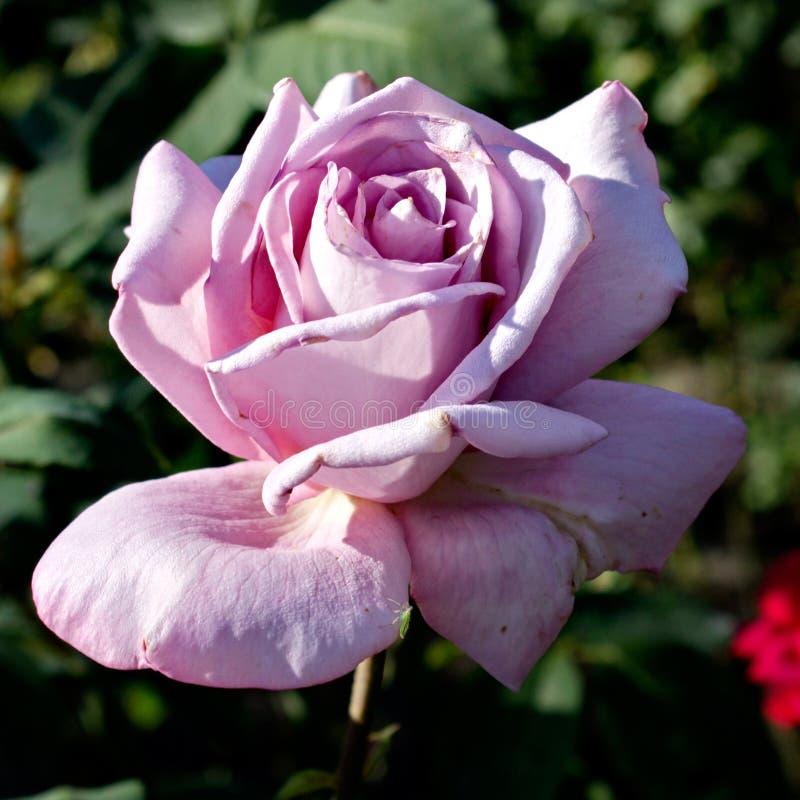 Pink roses. Bardovaya Grew Red Buds Rosa Red roses Buket Valentina Debutante Map royalty free stock images