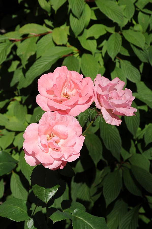 PINK ROSES BD ROSE PLANTS. Copenhagen/Denmark 25.JULY 2018_Pink rose and rose plants in danih capital. . Photo.Francis Joseph Dean / Deanpictures royalty free stock image