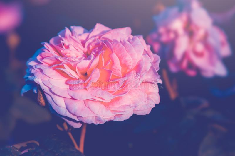 Pink roses blossom in summer. Nature floral background stock images