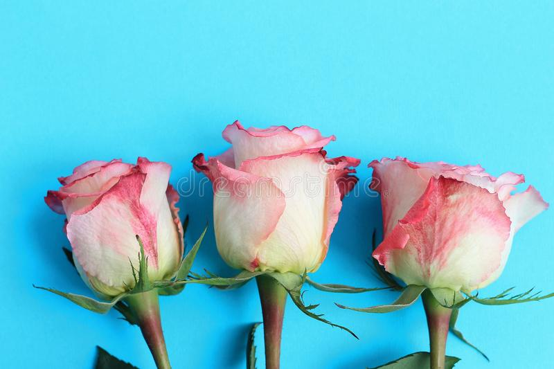 Pink roses on blue background board. Flowers greeting card, copy space, close up. Pink roses on blue background board. Flowers greeting card, copy space, close stock images
