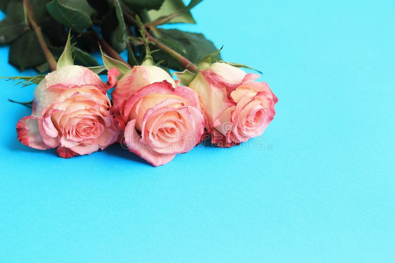 Pink roses on blue background board. Flowers greeting card, copy space, close up. Pink roses on blue background board. Flowers greeting card, copy space, close royalty free stock photography