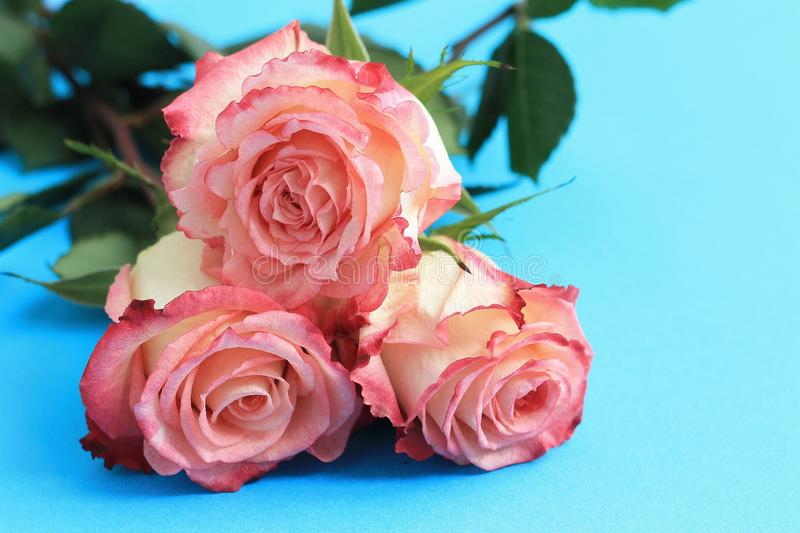 Pink roses on blue background board. Flowers greeting card, copy space, close up. Pink roses on blue background board. Flowers greeting card, copy space, close royalty free stock image