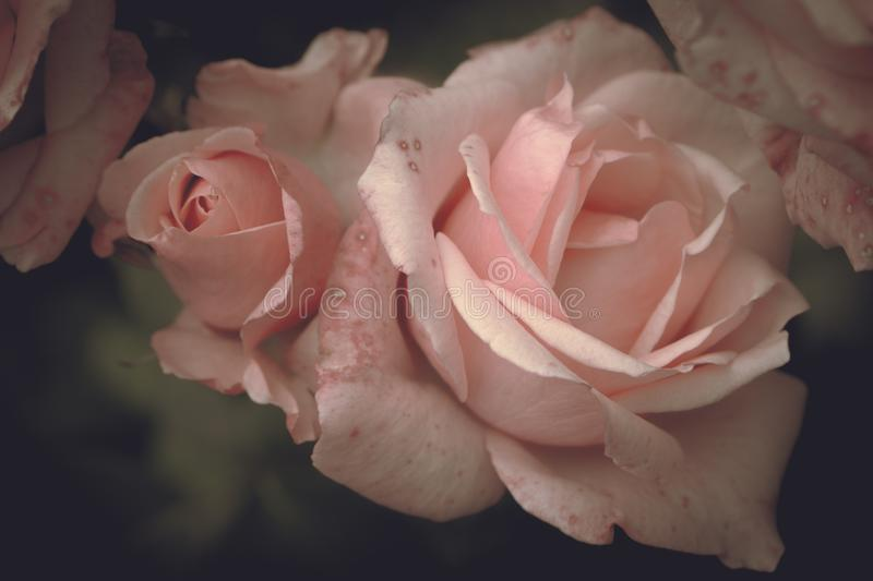 Pink roses with bud on a dark background, romantic flowers royalty free stock images