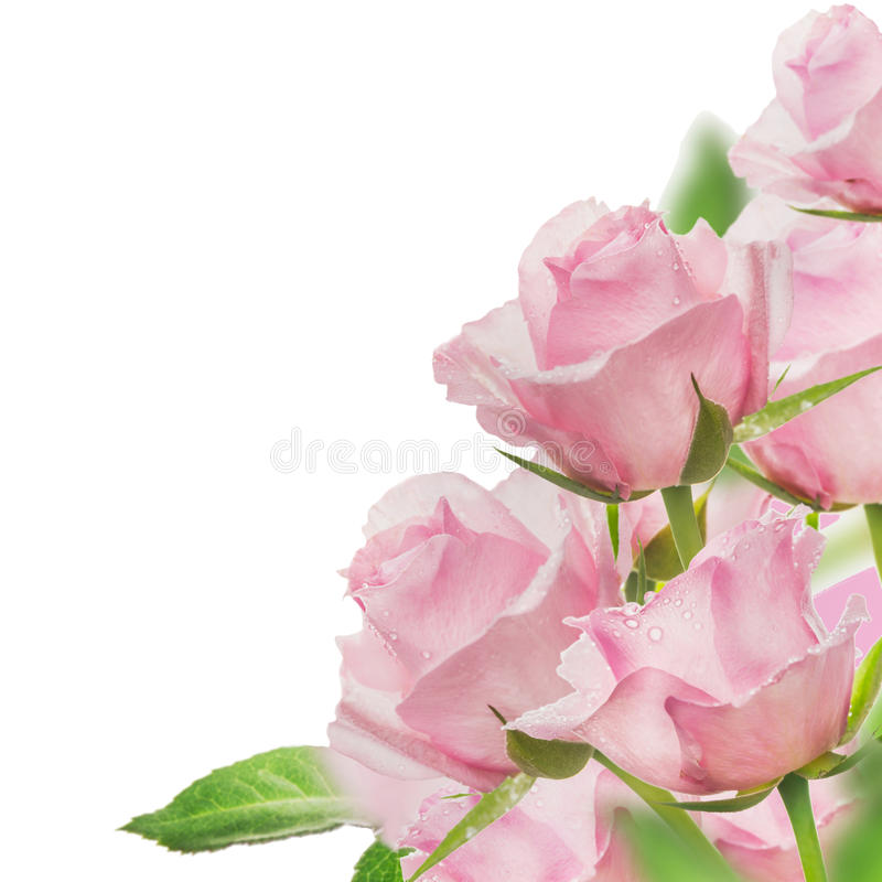 Pink roses bunch, isolated on white. Background stock photography