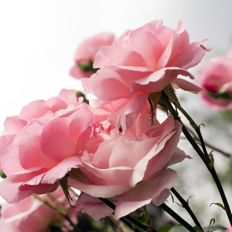 Pink roses card royalty free stock photography