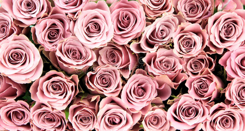 Pink roses, close-up image, as background.  royalty free stock images