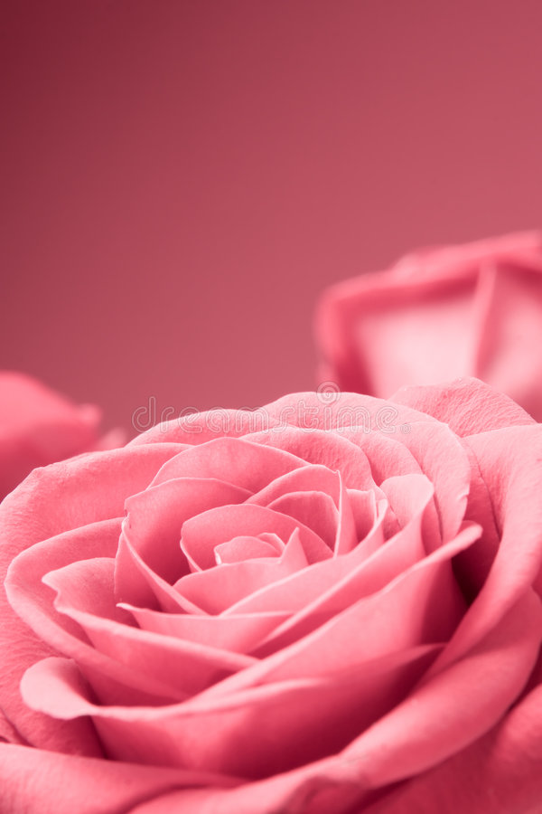 Free Pink Roses Close-up On The Red Background Royalty Free Stock Image - 1780216