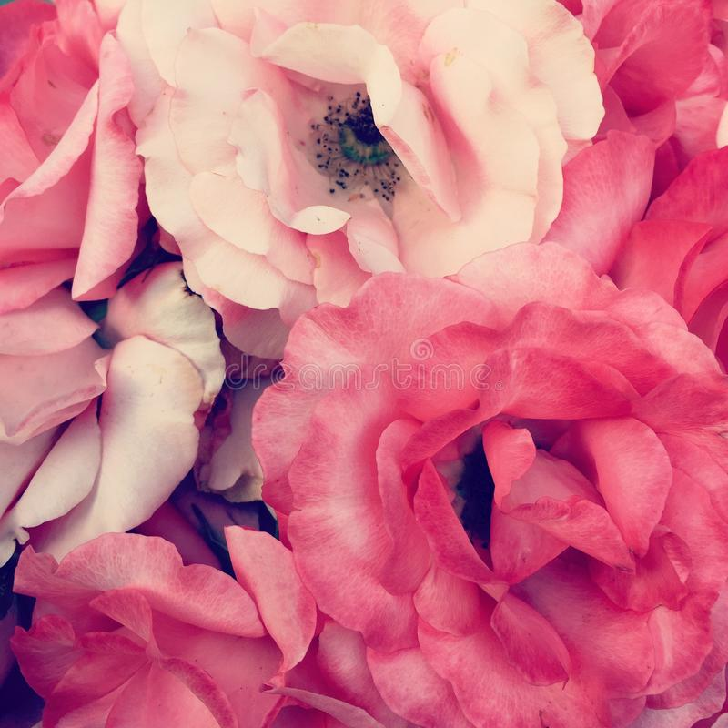 Pink roses royalty free stock images