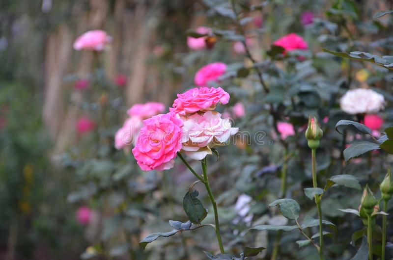 Pink Roses in the Garden stock photography