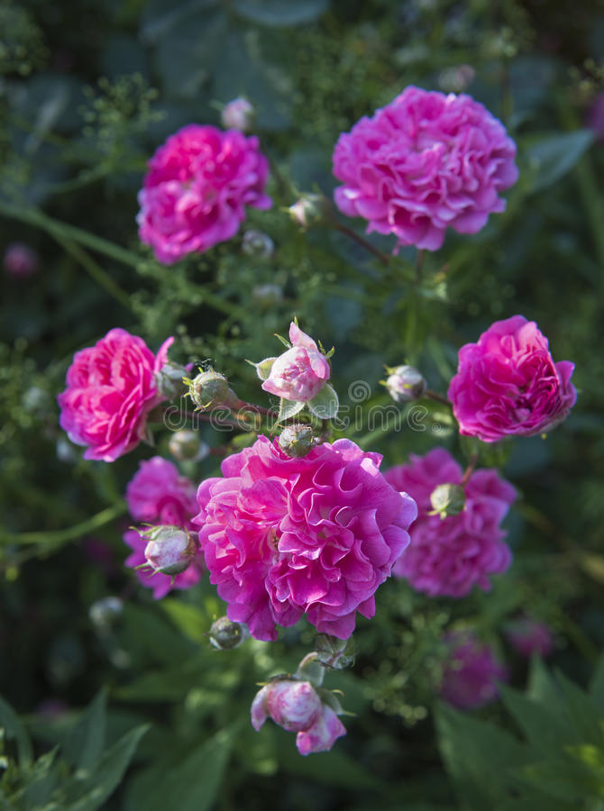 Pink Roses in a Garden stock photos
